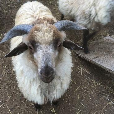 Badger-face 2-horn ram