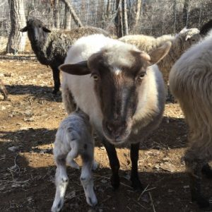 Ewe with nursing lamb