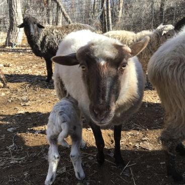Ewe with nursing lamb