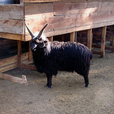Ram with perfect horns