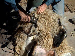 Shearing sheep for wool