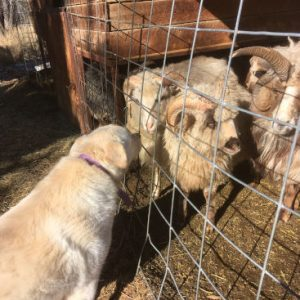 Great Pyrenees visits with the sheep