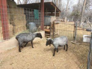 Freshly sheared ewes