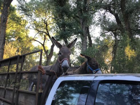 Donkeys get truck ride to wilderness