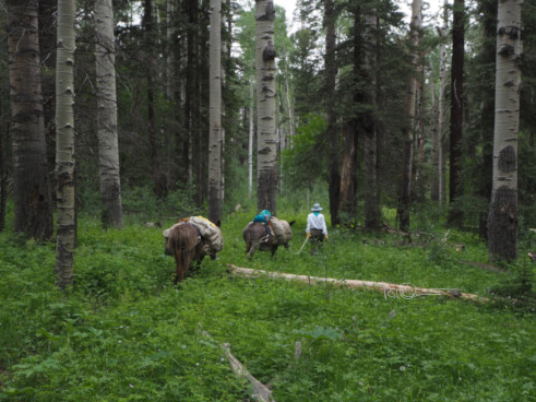 Donkey travel through an aspen forest